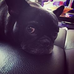 #hundeliebe #dog #goodmorning #hund French Bulldog, Dogs, Animals, I Love Dogs, Animales, Animaux, French Bulldog Shedding, Pet Dogs, Bulldog Frances