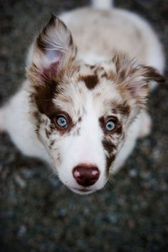 Beautiful Border Collie Double Dilute? - BC Boards