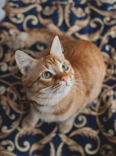 Ginger cat's seen something. Pretty Cats, Beautiful Cats, Animals Beautiful, Cute Kittens, Cats And Kittens, Ragdoll Kittens, Bengal Cats, Fluffy Animals, Cute Animals