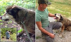 Rocky (pictured during his rescue), a 17-year-old shepherd mix, bolted out of his owners' home this Fourth Of July weekend. A logger spotted him wandering alone in the woods near Conway.