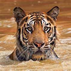 Tiger, swimming