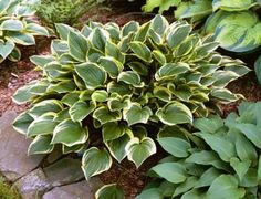 Hosta 'Torchlight' - Distinctive reddish petioles visible in spring.  Shiny dark green center with white margins.  Slightly wavy and upright.