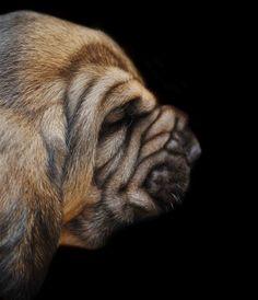 bloodhound puppy.