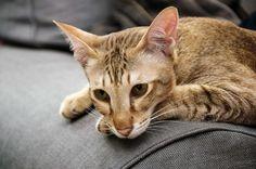 tabby cat - Feline Distemper: Your Cat's Worst Nightmare
