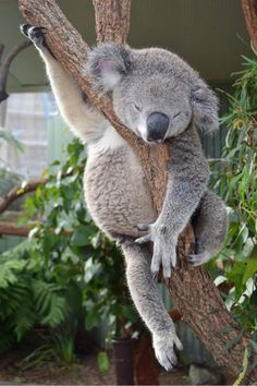 "Do you know the answer to the question: ""What do koalas eat?""This article aims to cover important koala diet and feeding questions Cute Baby Animals, Animals And Pets, Funny Animals, Baby Koala, Australian Animals, Tier Fotos, Cute Creatures, Animal Photography, Pet Birds"