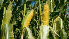 Suben los precios del maíz y trigo duro en los mercados mayoristas en la última semana