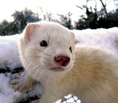This is a great picture!  Beautiful job photographer.  Ferrets are hard to photograph when there awake.