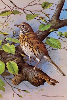 Song Thrush - 1980 Vintage Bird Print by Basil Ede Wildlife Paintings, Wildlife Art, Bird Paintings, Bird Illustration, Illustrations, Song Thrush, Birds Of America, Bird Artwork, Bird Drawings
