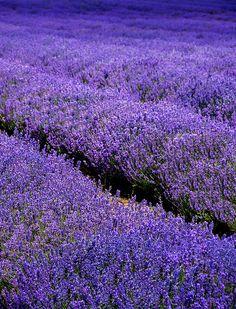 Lavender 1 by Photograferry, via Flickr