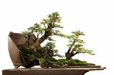 Robert Steven's bonsai.