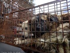 Trapped: Once they arrive in Yulin, the dogs (pictured) are beaten to death before their m...