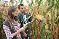 novas-pragas-do-milho-portal-agropecuario