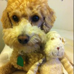 Toy poodle and his toy.