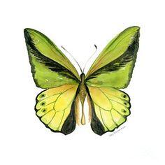 Painting - 8 Goliath Birdwing Butterfly by Amy Kirkpatrick
