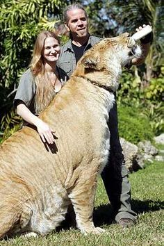 Some people think Ligers are fake they are 100% Real