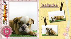 ZAHARA CHUCK - Miniature Bulldog puppy for Sale by Bullcanes  English bulldog and French bulldog puppies for Sale  www.bullcanes.net  ceo at bullcanes dot net