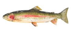Rainbow Trout *A Year On The Fly