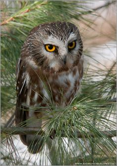 Saw-whet Owl - by Raymond Barlow on Flickr