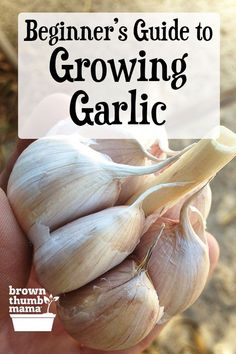 veg garden Garlic is a fantastic crop for beginning gardeners. Its easy to plant and grow, and each clove grows into an entire head of garlic. Heres everything you need to know to choose, plant, grow, and harvest garlic in your garden this year. Growing Veggies, Growing Herbs, Growing Garlic From Cloves, Growing Watermelons, Growing Onions, Growing Tomatoes, How To Grow Tomatoes, Compost Diy, Composting