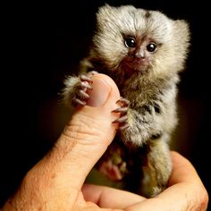 The common marmoset is one of the smallest primate species on Earth. She only weighs about 70g.