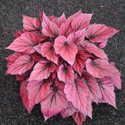 Begonia Rex, Shadow King™ Pink