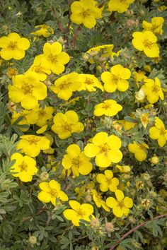 Monrovia's Gold Star Potentilla details and information. Learn more about Monrovia plants and best practices for best possible plant performance. Hydrangea Paniculata, Short Plants, Tall Plants, Compost, Full Sun Shrubs, Monrovia Plants, Plant Catalogs, Plant Needs, Plantar