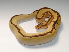 Mobee Clown - Morph List - World of Ball Pythons