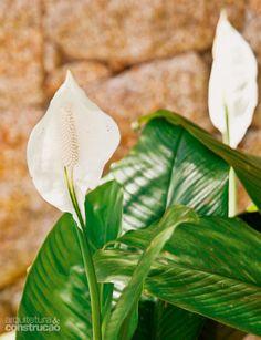 Lírio-da-paz (Spathiphyllum wallisii).Conhecido por purificar o ar, deve ser regado diariamente em tempos áridos demais e a cada dois dias nas estações mais úmidas. Você pode deixa-lo em um espaço de meia-sombra ou sombra.Poda e adubação são essenciais para obter flores: remova sempre as folhas mortas e secas e não se esqueça de adubar a terra a cada seis meses.