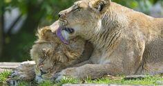 lions in love 4k ultra hd wallpaper