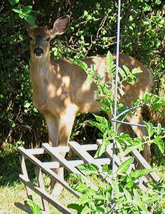 Deer Resistant Vegetables and Herbs | NW Farms & Food