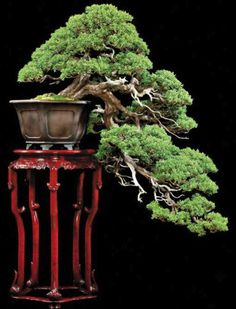 .This is a Bonsai Symphony. A well designed and maintained cascade on a stunning stand. Both are fused together by the use of a beautiful pot.