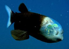 With a head like a fighter-plane cockpit, a Pacific barreleye fish shows off its highly sensitive, barrel-like eyes--topped by green, orblike lenses. The fish, discovered alive in the deep water off California's central coast by the Monterey Bay Aquarium Research Institute, is the first specimen of its kind to be found with its soft transparent dome intact. The 6-inch  fish had been known since 1939--but only from mangled specimens dragged to the surface by nets.