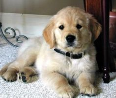 Retriever Puppo    i love dogs by marjorie
