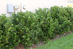 Viburnum Suspensum (Sandankwa Vibernum) - 6-12'x6-12', avg grwth rte, well drained soil, pink or white flowers WINTER -Spring, z8-10. will need to be pruned.