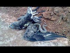 incredible COBRA KILLS Eagle Vs CAT Attacks On SNAKE attack Monkey and ANACONDA VS rottweiler #9 - YouTube