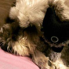 キキとRYU  #RYU#シュナウザー#ドッグ#犬#気流Life