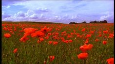 http://footage.framepool.com/shotimg/947128264-poppy-field-corn-poppy-masuria-red-color.jpg