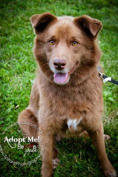 Check out Bella Boo's profile on AllPaws.com and help her get adopted! Bella Boo is an adorable Dog that needs a new home. https://www.allpaws.com/adopt-a-dog/australian-shepherd-mix-labrador-retriever/1242628?social_ref=pinterest