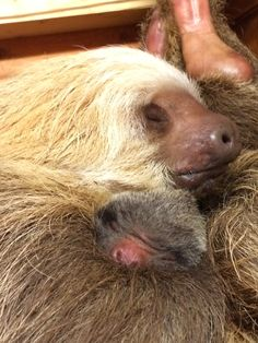 Bonnie the Hoffmann's two-toed sloth with her first infant -- and the first sloth born at Zoo Atlanta! -- born on April 29, 2015. (Photo by Lynn Yakubinis.)