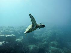Sea Turtles in Sri Lanka! #WanderlustLama #SriLankaTravel #Swimmingwithturtles #Adventure #SriLankaDestinations #SeaTurtles #Travel #SriLankaDestinations #SriLankaPointsofInterest #SriLankaHotels #SriLankaBeaches #SriLankaWeather #SriLankaHolidays #SriLankaAir