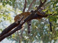"""Comfort in the Trees - John Banovich  Limited Edition Giclée Canvas Zawadi Edition:• 350s/n plus 35Artist Proofs• Canvas: 12"""" x 16"""" - $225• Artist Proof: 12"""" x 16"""" - $270• Frame(Artisan): 17"""" x 21"""" - $270 """"I spent a week in the Cockscomb Basin, part of a massive wildlife sanctuary in Belize, searching for jaguar. Though one of the most elusive cats in the world, jaguars, like all wildlife, leave their stories on the trails and shadows of the forest. We found so many fresh tracks and…"""