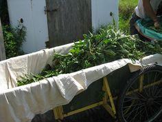 Harvesting indigo - Growing Indigo Shibori, Agriculture, Dyes, Indigo, Inspire, Natural, Painting, Indigo Dye, Painting Art