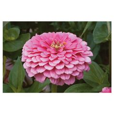 Benary's Giant Bright Pink