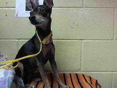 Chihuahua dog for Adoption in Downey, CA. ADN-752297 on PuppyFinder.com Gender: Male. Age: Senior