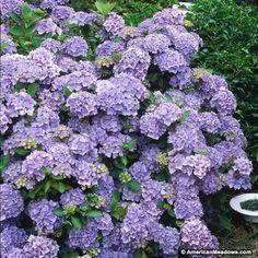 Blue Hydrangea Nikko Blue, Hydrangea macrophylla
