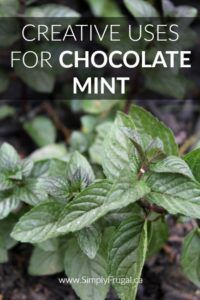 7 Creative Uses for Chocolate Mint Chocolate mint smells just like the name suggests, like minty chocolate! If you grow chocolate mint or are considering it, take a look at these creative uses for chocolate mint you must try! Mint Plant Uses, Mint Plants, Growing Mint, Growing Herbs, Growing Gardens, Healing Herbs, Medicinal Plants, Chocolate Mint Plant, Chocolate Mint Herb Recipe