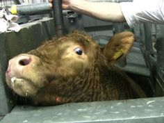 PINNERS!!!! DID YOU SIGN and SHARE??? Europe-wide video surveillance at slaughterhouses and documentation - Petitionen24.com