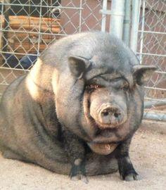 Rasputia, a pig I sponsor from Ironwood Pig Sanctuary