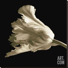 Tulip Stretched Canvas Print by Michael Harrison at Art.com