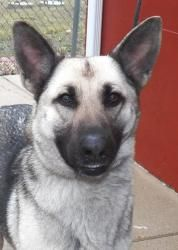 #085 is an adoptable German Shepherd Dog Dog in Charleston, IL.  ...